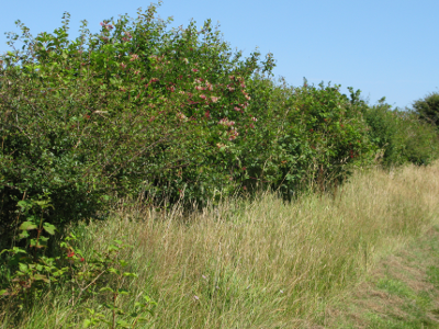 Hedge_planting