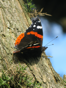red_admiral_quarry