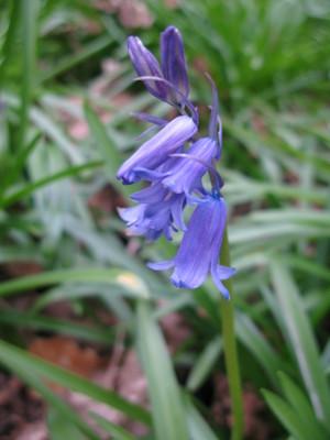 Bluebell_BB_03-16