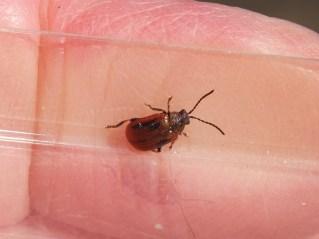 Hawthorn Leaf Beetle  Lochmaea crataegi