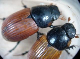 Aphodius fimetarius