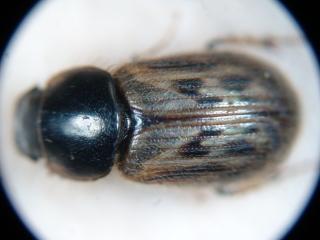 Aphodius contaminatus
