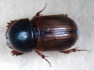 Aphodius borealis