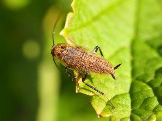 Lesser Cockroach - Ectobius panzeri
