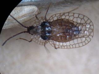 Derephysia foliacea